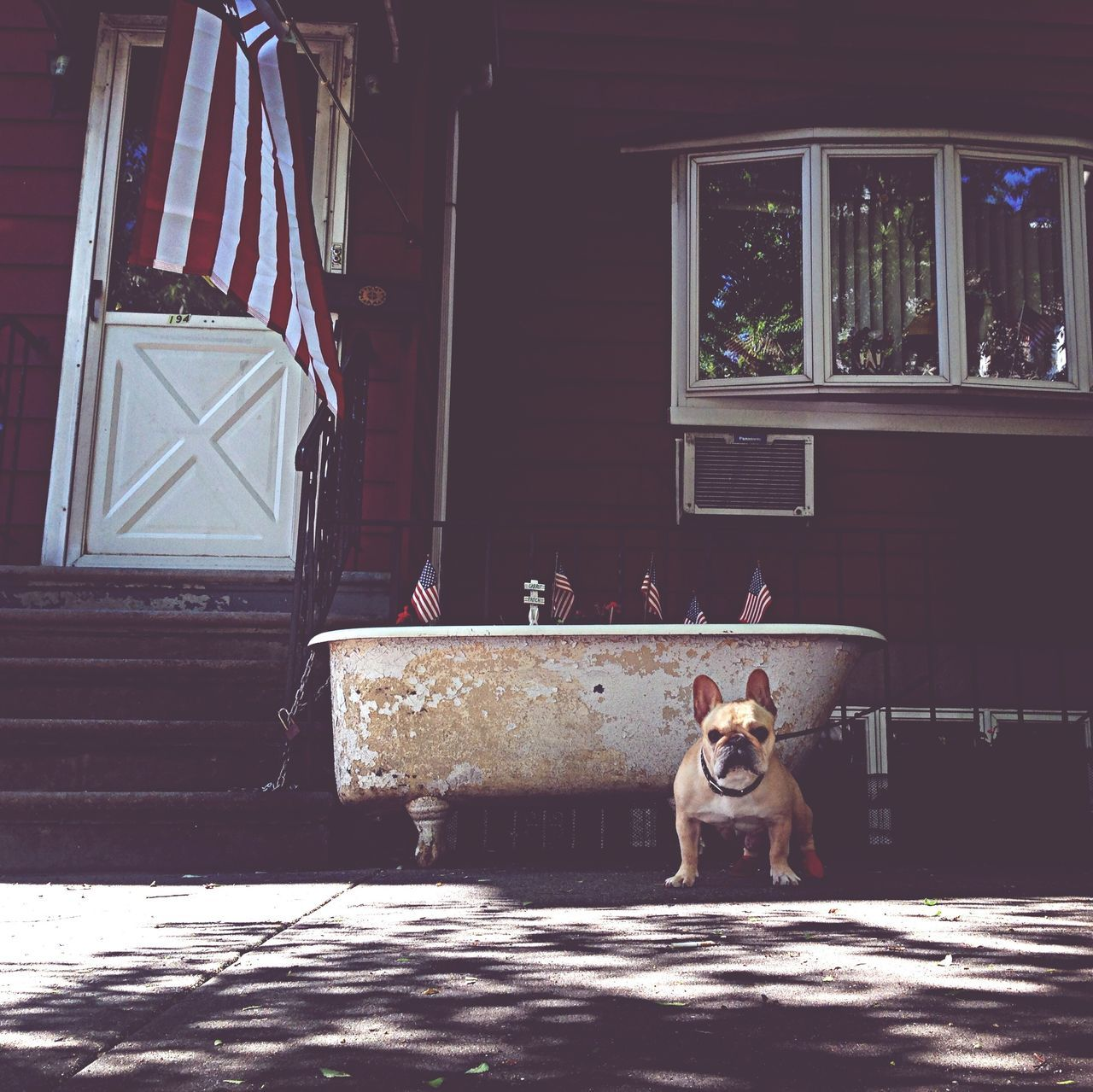 Dog in front of a house with flags