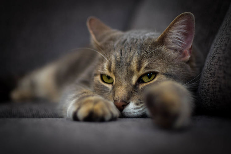 Je vous observe / I'm watching you Animal Animal Eye Animal Head  Animal Themes Cat Cats Close-up Domestic Domestic Animals Domestic Cat Eye Feline Indoors  Looking At Camera Lying Down Mammal Mybaby No People One Animal Pets Portrait Relaxation Selective Focus Tabby Looking At Camera