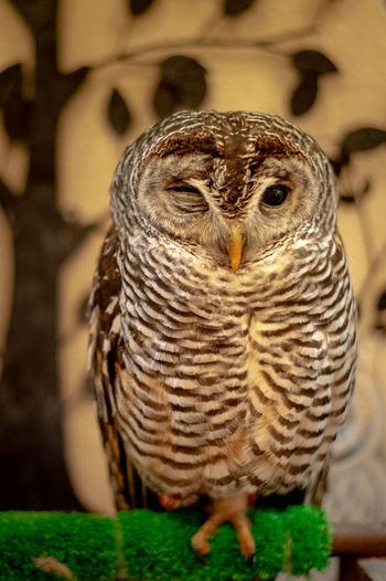 Owl Bird Owl Portrait Confined Space Close-up