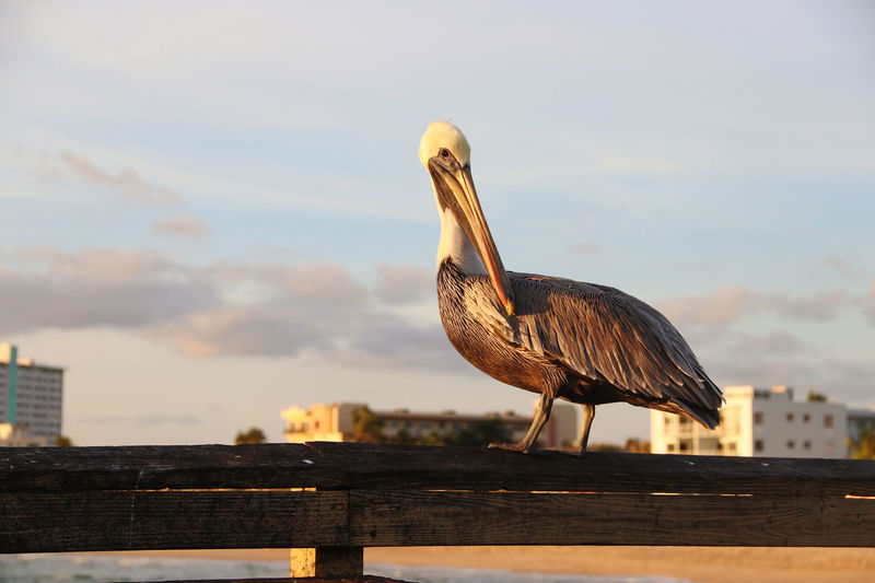 View of pelican perching on a pier