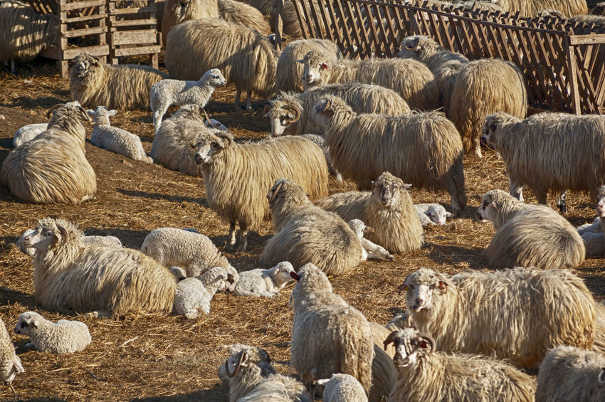 Sheep's Farm Agriculture Animal Animal Themes Day Domestic Domestic Animals Flock Of Sheep Group Of Animals Herbivorous Herd Large Group Of Animals Livestock Mammal Nature No People Outdoors Sheep Vertebrate