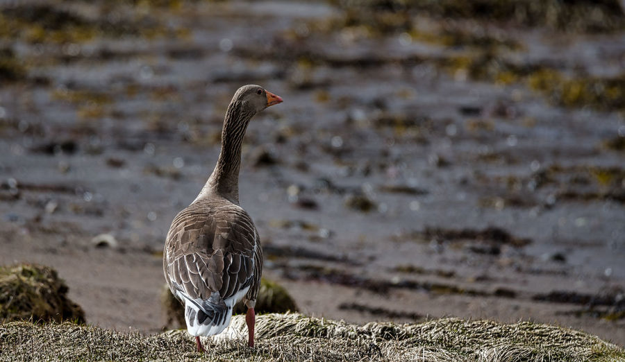 Single Bird Bird Day Foreshore Migratory Bird No People Pink Footed Goose Tide Out