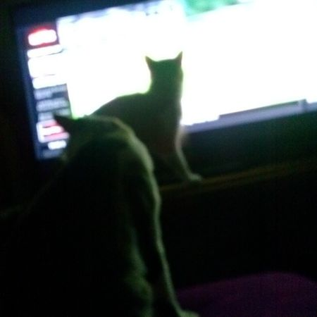 Cats watching ESPN SportsCenter Catsofinstagram