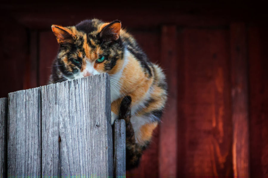 Tricolor cat on the fence Animal Themes Cat Close-up Day Domestic Animals Domestic Cat Feline Looking At Camera Mammal No People One Animal Outdoors Pets Portrait Tortoiseshell Cat Whisker Wood - Material