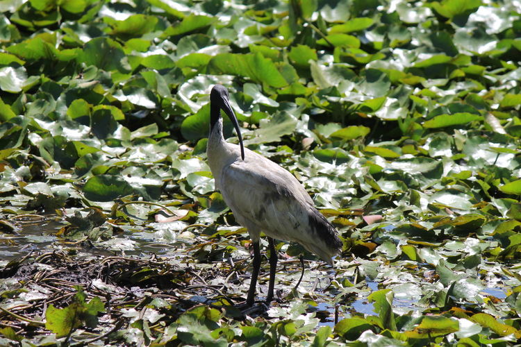 High Angle View Of Australian White Ibis Perching By Pond