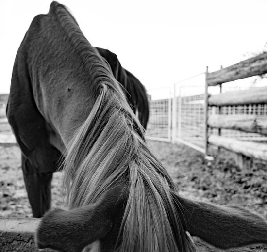 Dot's ears. Horsehair Going Black & White Thephotographer Monochrome Photography Tucson Arizona  Woodin Ranch Journey Into The Dark Eyemphotography Horse Beautyisintheeyeofthebeholder Getting Creative Eye4photography  Takingphotos Mypointofview Godfather Chowtime Hay Bales Feedbag Livestock Ignoring Me Downlow Oblivious  Chillin' Relaxedmindbodyandspirit