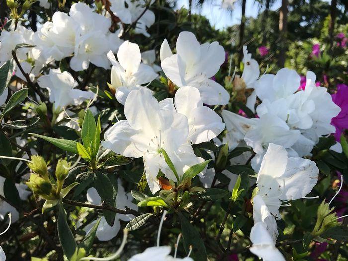 杜鵑花開 Plant Outdoors Garden Park Flower