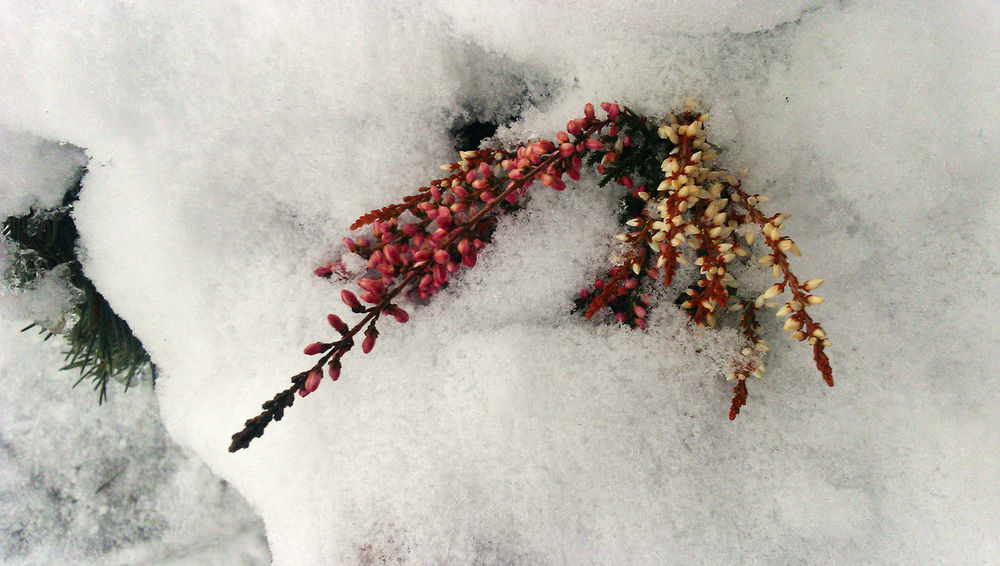 Berries Frozen Close-up Cold Temperature Red And White Colour Red Berries Snow Winter