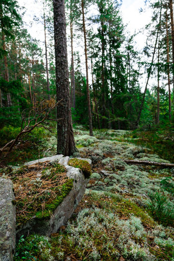 Hiking Norway Wood Beauty In Nature Day Environment Forest Green Color Growth Land Nature No People Non-urban Scene Outdoors Plant Rock Scenics - Nature Sognsvann Tranquil Scene Tranquility Tree Tree Trunk Trunk WoodLand Woods