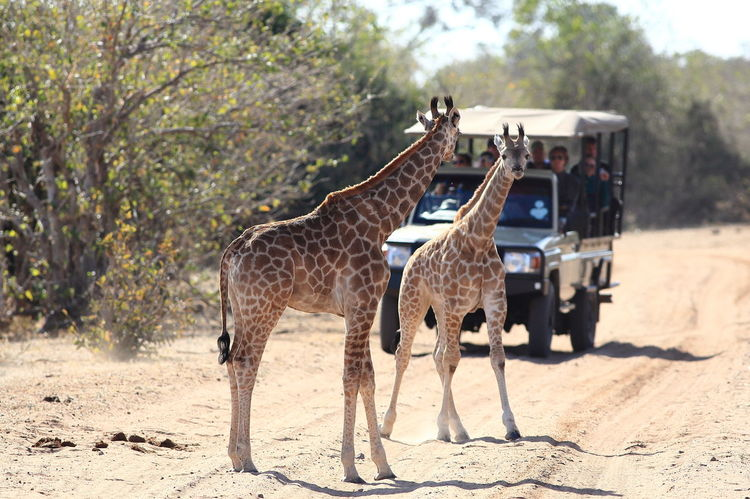 Botswana Chobe National Park Africa Animal Themes Animal Wildlife Animals In The Wild Full Length Giraffes Mammal Safari Adventure Safari Animals Safari Cars Standing Young Animal Young Giraffe