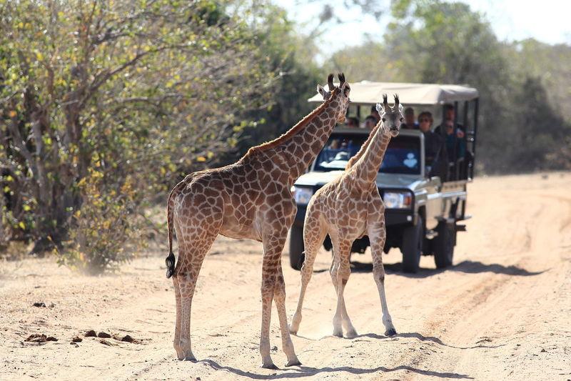Botswana Chobe National Park Africa Animal Themes Animal Wildlife Animals In The Wild Full Length Giraffes Mammal Safari Adventure Safari Animals Safari Cars Standing Young Animal Young Giraffe
