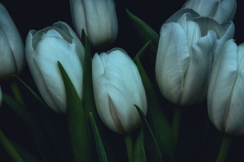 White tulips Tulips Full Frame Close-up Green Color No People Backgrounds Indoors  Growth Still Life Nature Plant Beauty In Nature Softness Freshness Studio Shot High Angle View Flower Black Background