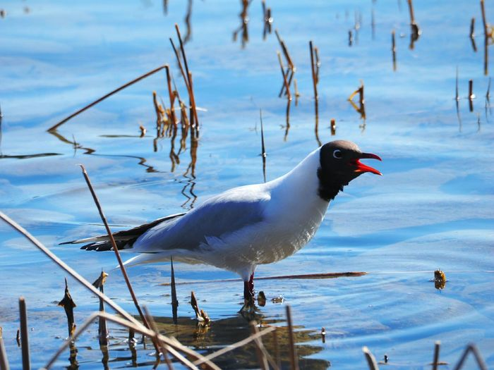 Animal Wildlife Animals In The Wild Bird Water Lake No People Nature Nature Animals In The Wild Laughing Gull Screaming Out Loud! Nature Photography One Animal Sea Birds Sea Life Screaming Gull