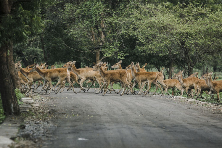 Side view of deer crossing on road in forest