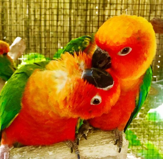 Love Birds Kiss Bird Parrot Animal Themes Close-up No People Animals In The Wild Scarlet Macaw Macaw Perching Outdoors Multi Colored Cage Day Nature Animal Wildlife Rainbow Lorikeet