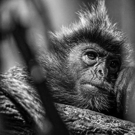 Langur testing after a meal. Primate Nikon Blackandwhite