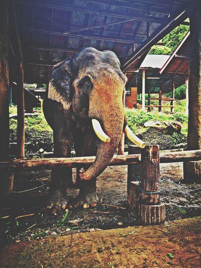 Elephant Elephants Tailand Tailandia. Chiang Mai | Thailand Chiang Rai, Thailand