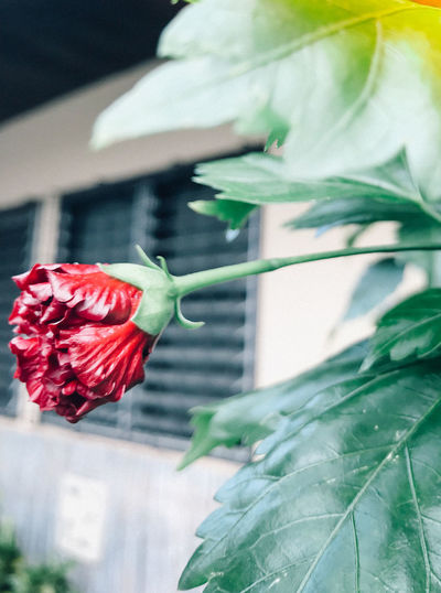 Beauty In Nature Close-up Day Flower Flower Head Flowering Plant Focus On Foreground Fragility Freshness Green Color Growth Inflorescence Leaf Nature No People Outdoors Plant Plant Part Red Rosé Rose - Flower Vulnerability
