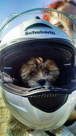 Shitzus Puppy in a Helmut she so cute