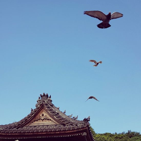 Flying Clear Sky Bird Architecture Low Angle View Travel Destinations Outdoors Animal Themes Hello World Enjoying Life Taiwan Taipei 臨濟護國禪寺 台北 台灣 寺廟 建築 Tourism Weekend Day Relaxing Traveling Eyeemtaiwan Taking Photos