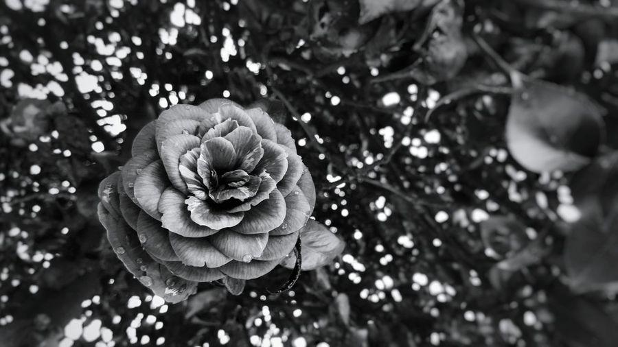 Camellia 🌺♥