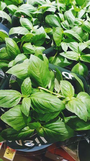 Basil Leafy