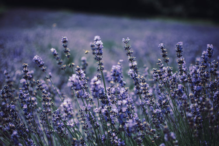 Beauty In Nature Close-up Day Field Flower Flower Head Flowerbed Flowering Plant Focus On Foreground Fragility Freshness Growth Land Lavender Lavender Colored Nature No People Outdoors Plant Purple Selective Focus Softness Vulnerability