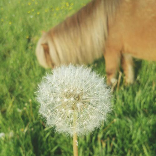 My little horse ·Sir Henry· ✔ Ponie Horse Little Horse Pusteblume Front Blurred Background Blurr Pretty Nice Nice Weather Hot