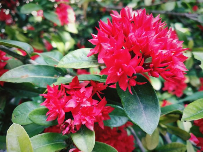 Flower Red Beauty In Nature Nature Plant Petal No People Flower Head Close-up Leaf ดอกไม้ ดอกไม้ (Flower)