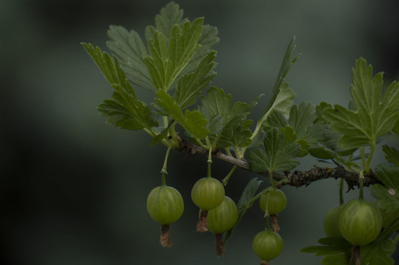 Garden Garden Photography Berries Beauty In Nature Berries And Leaves Close-up Focus On Foreground Food Freshness Fruit Gooseberry Gooseberry Bush Green Color Nature No People Outdoors Plant Plant Part Plant Stem Vegetable