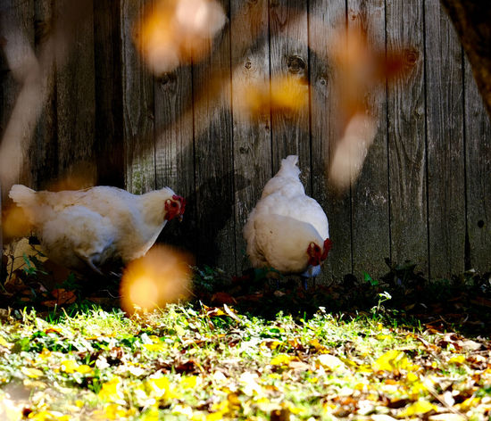 Animal Themes Group Of Animals Chicken - Bird Selective Focus Outdoors Bird Domestic Domestic Animals Nature No People Agriculture