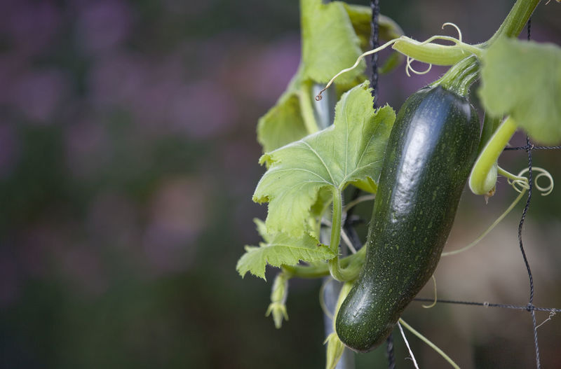 Close-Up Of Zucchini Plant