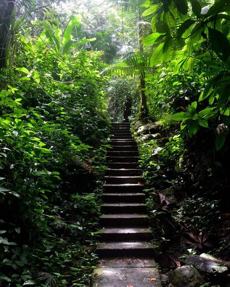 El Yunque Steps Steps And Staircases Tree Plant Low Angle View Forest The Way Forward Leaf Nature Green Color Elyunque Puerto Rico Rainforest Green Perspective