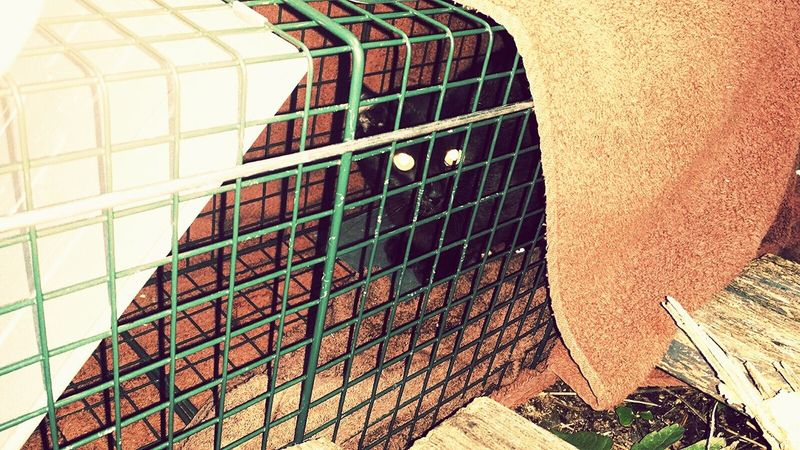 ScaredyCat Catoftheday trapped cat being rescued Tnr Feral Cat Check This Out Cat Lovers BLackCat