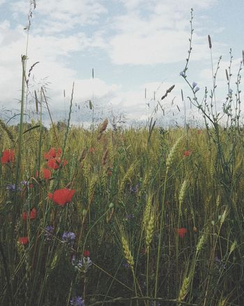 Flower Poppy Nature Growth Plant Sky Outdoors Day No People Cloud - Sky Beauty In Nature Summer Springtime Red Rural Scene Freshness Grass Water Fragility Tree Go For A Walk Nature_collection Nature Heals Heimatgefühle Calmness