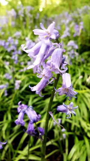 Bluebells Flower Purple Lavender Nature Scented Beauty In Nature Plant No People Fragility Close-up Outdoors Day Beauty Flower Head Freshness Samsungphotography Taking Photos Eye4photography  Day Outdoors. Nature The Great Outdoors - 2017 EyeEm Awards Beauty In Nature WoodLand