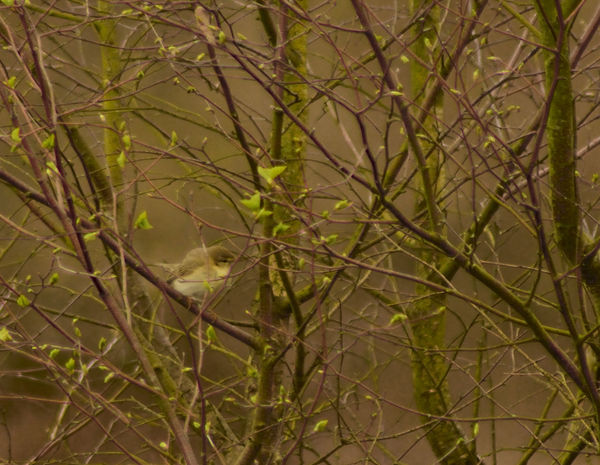 I believe this is a Willow Warbler but if someone could kindly confirm or correct me I would be very grateful. Taken at Elstead Moat. Beauty In Nature Birds_collection Close-up Focus On Foreground Nature Perching Bird Phylloscopus Trochilus Tranquility Willow Warbler