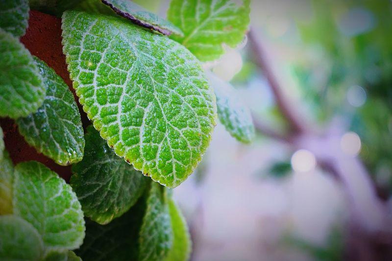 พรมญี่ปุ่น Leaf Green Color Plant Nature Close-up Freshness Focus On Foreground Green Color