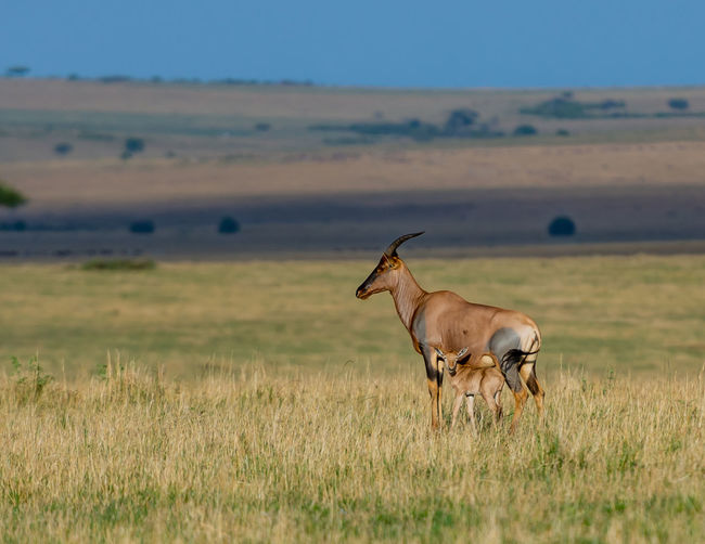 Gazelle mother and son in a field