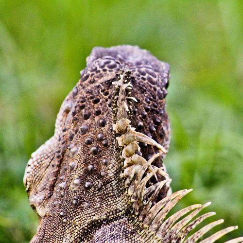Iguana EyeEm
