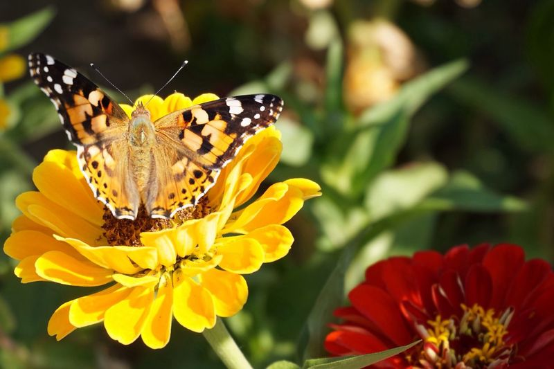 Close-up of butterfly perching on yellow flower