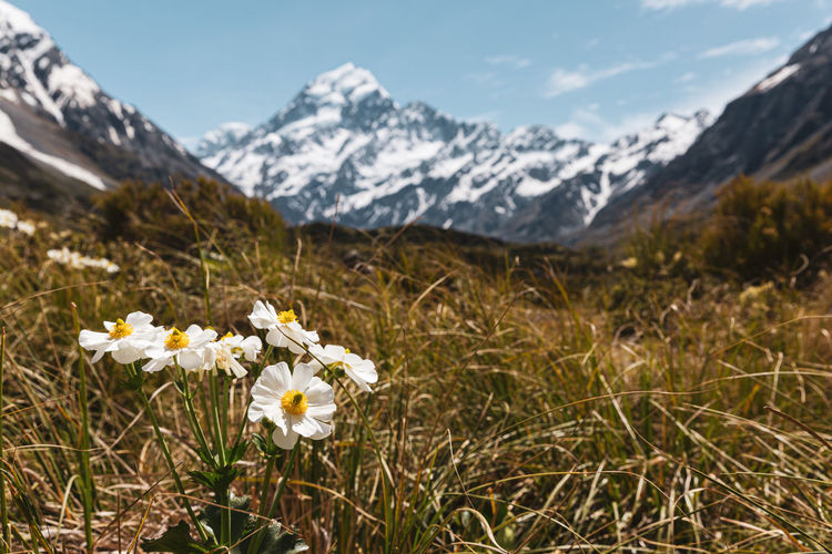 Close-up of white flowering plants on land against mountain