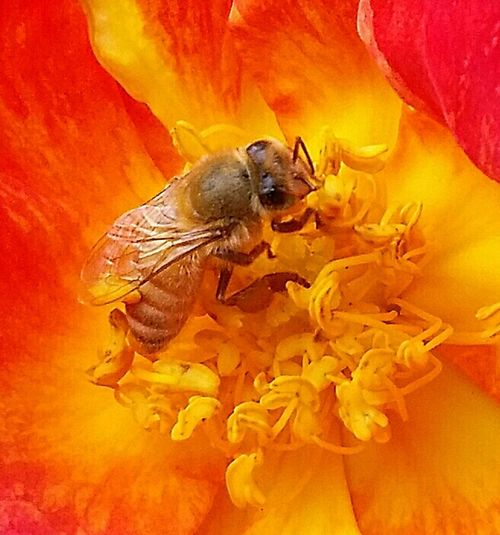 Macro Macroworld Eye4photography Makro Spring2016 Save The Bees California Californiathroughmylens Myflower Nature At Its Best Busy Bee Love My Bees Beesofeyeem The Pollenator Nature Photography Bee And Flower Macrophotography April2015 Macro_bugs Smallthingsthatmakemehappy Learning From Nature I Have A Passion For Taking Photos Macro Photography Spring Has Arrived
