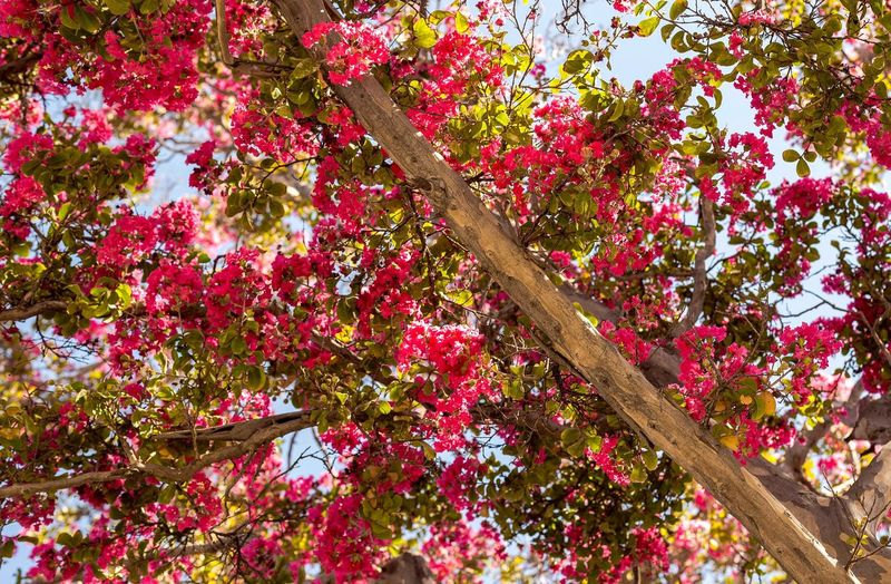 Sunlight Flower Freshness Growth Pink Color Low Angle View Branch Beauty In Nature Tree Springtime Nature Blossom Day