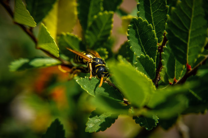 Hiding wasp Animal Themes Animal Wildlife Animals In The Wild Beauty In Nature Close-up Day Green Color Growth Insect Leaf Nature No People One Animal Outdoors Plant Wasp