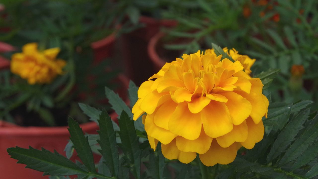 flower, petal, yellow, fragility, freshness, flower head, beauty in nature, growth, plant, nature, blooming, no people, green color, leaf, outdoors, day, close-up, marigold