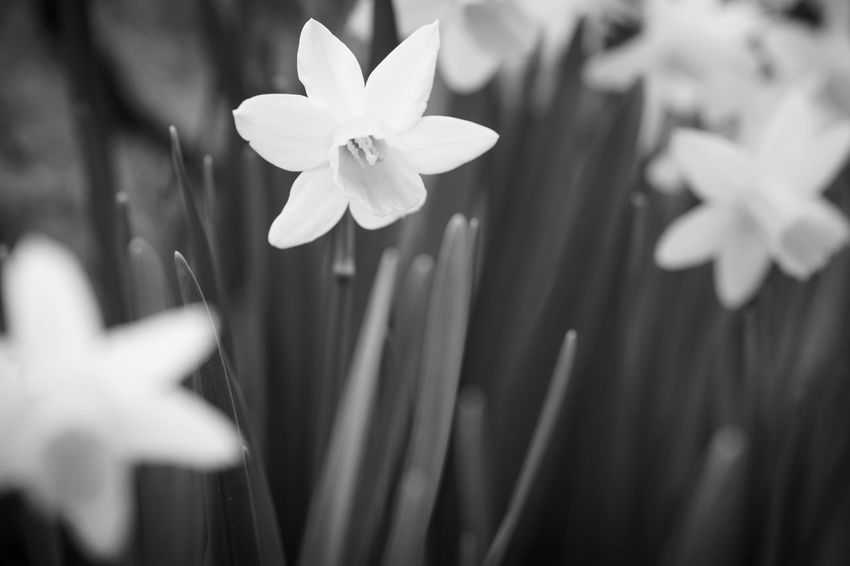 Flower Nature Fragility Beauty In Nature Petal Freshness Flower Head Growth Plant Close-up Blooming Outdoors No People Day Black And White Monochrome Bokeh Depth Of Field Wild Daffodil Narcissus Pseudonarcissus Lent Lily Grass Proxy