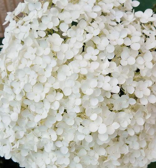 Beautiful Hydrangeas Flower Beauty In Nature By John