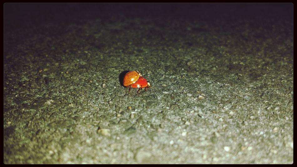 Cuffing season Ladybug Mating Cuffingseason First Eyeem Photo