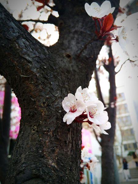Spring Qingdao